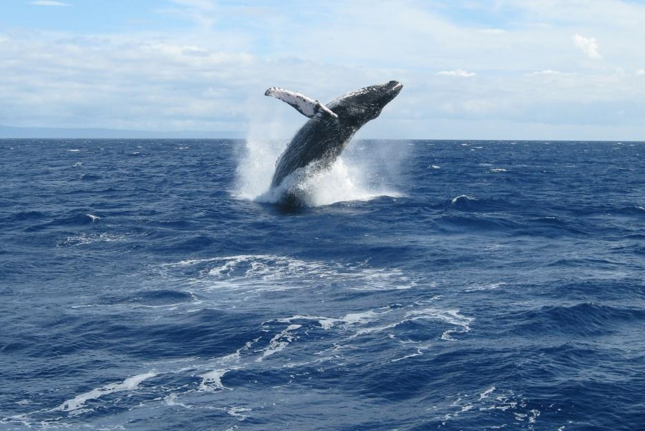 bigstock-whale-breaching-off-west-maui-70694410_935